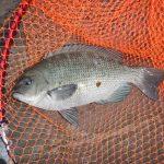 地磯早朝釣行、チンチンとメジナをゲット。