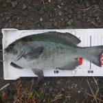 海苔メジナの試し釣りで30cmゲット。