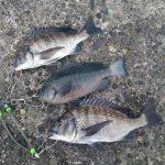 カイズとメジナの数釣り、正体不明の大型はバラシ。