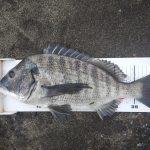 久しぶりの渚釣り、開始早々43cmゲット。