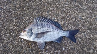 早朝釣行、気配薄くカイズのみ。