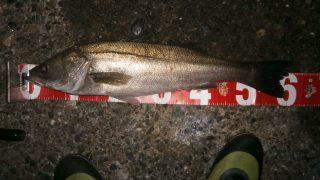 番外編 スズキ釣れ始めました。