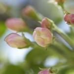 春一番吹かずに桜咲く