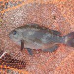 海苔メジナ狙い、今年初めての場所でお試し釣行。