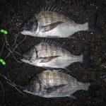 何処へ行ってもカイズは釣れる。