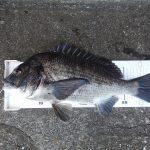 渚釣りで黒鯛フィーバー!!