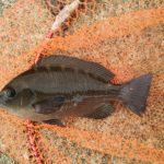 久しぶりの夕マズメ釣行、海苔メジナは出たが黒鯛は不発。