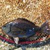 早朝の黒鯛&海苔メジナ狙い。