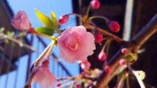 桜咲き始め・体調やや悪い。