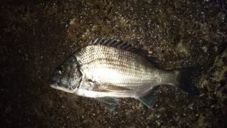 早朝半夜釣行、何とかカイズゲット。