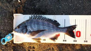 家の下で渚釣り、小さいけれど1枚出た。