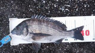 渚釣り、フグの中から40cmゲット。