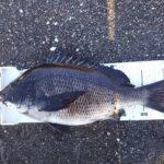渚釣り、42.5cm 1.53kgの乗っ込み黒鯛をゲット。