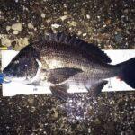 早朝半夜釣行、46.5cmの黒鯛をゲット。