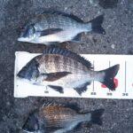 カイズの数釣りシーズン到来。