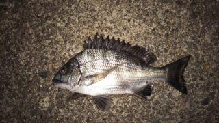 半夜釣行はチンチンのみ。